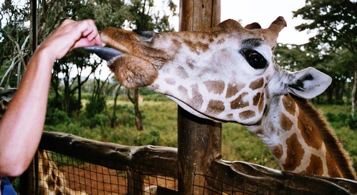 Giraffe_feeding